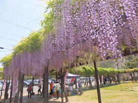 日本最長クラス!900メートルの藤棚・岡山「渋川藤まつり」