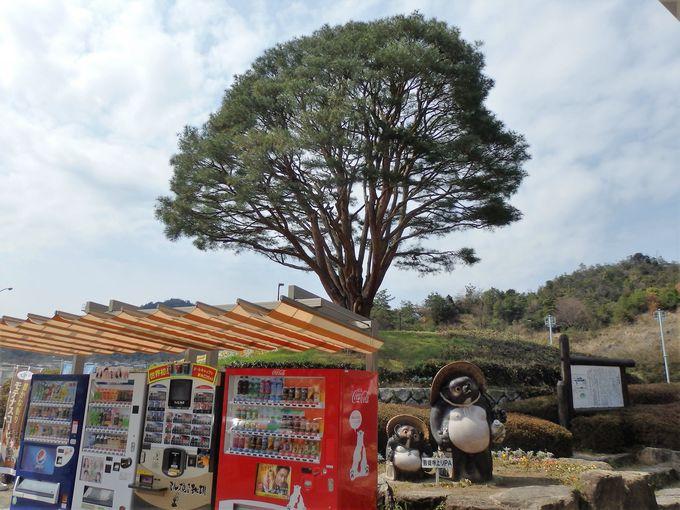 国の天然記念物に指定されている「平松のウツクシマツ」