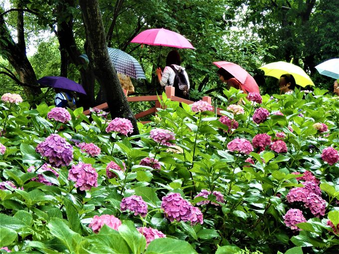 各所で見られるたくさんの紫陽花