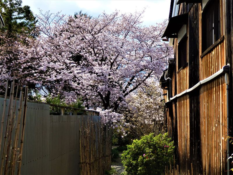 「ならまち」(奈良町)界隈の寺院と桜