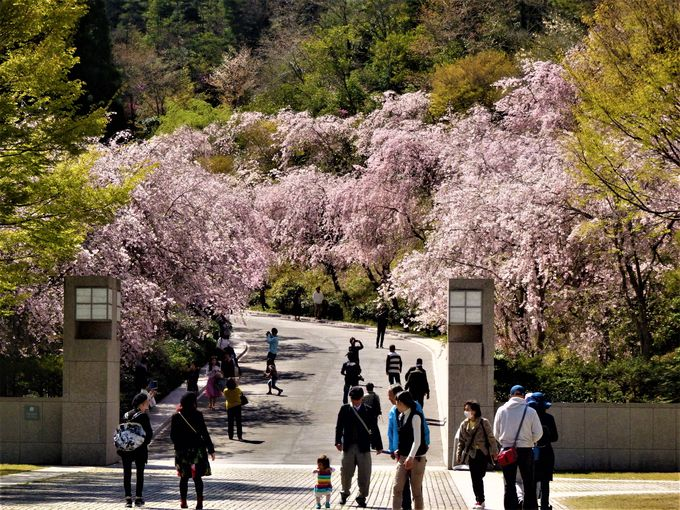 関西でもっとも遅い桜を楽しめるMIHO MUSEUM