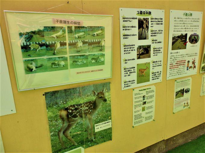奈良の鹿について学ぼう!鹿苑内の散策