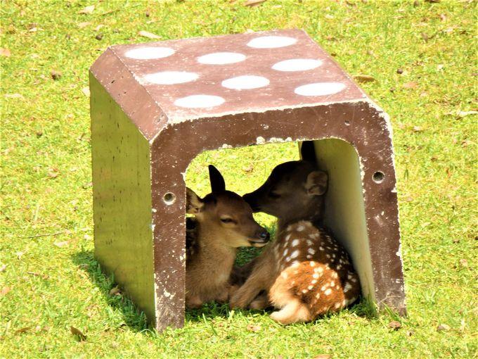 日陰でくつろぐ小鹿たち