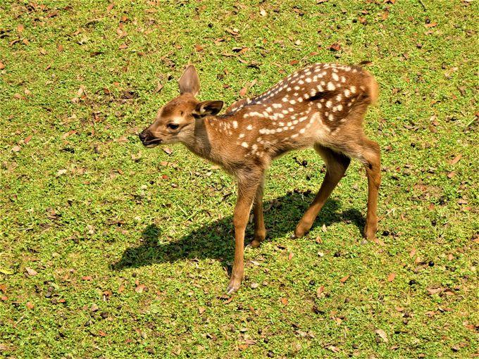 この時期だけ!小鹿と母鹿の愛らしい姿
