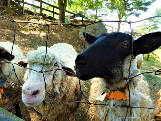 家族連れにはこちら!ヒツジがたくさん「めえめえ牧場」
