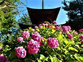 久米仙人ゆかりの寺院であじさい鑑賞!奈良県橿原市「久米寺」
