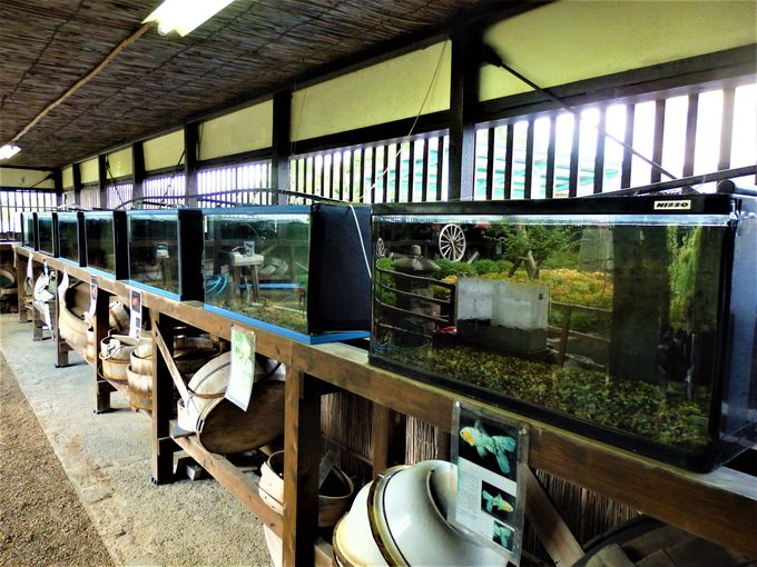 珍しい金魚もいろいろ!水槽コーナー