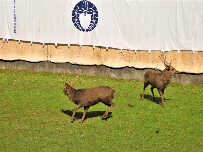 入場する勢子や鹿