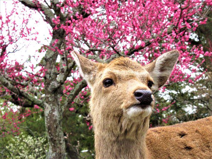 鹿もお出迎え!片岡梅林ならではの光景