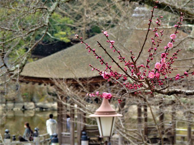 奈良公園のシンボル・浮見堂と梅