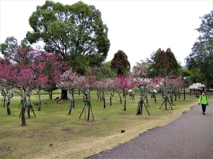 梅の名所として知られる片岡梅林