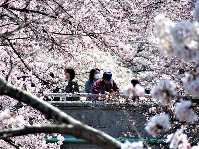 まるで桜に包み込まれるみたい!橋の上からの眺め