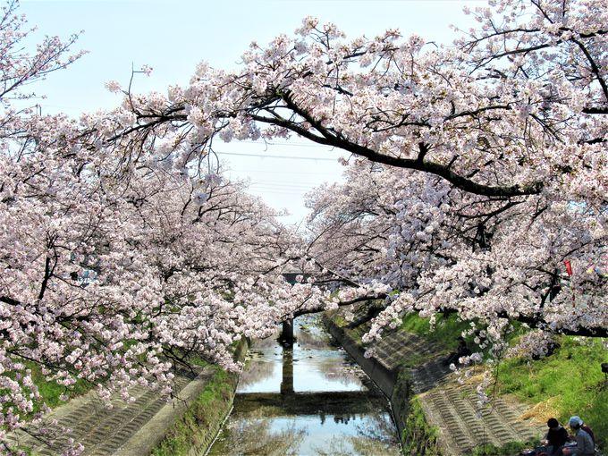 高田川沿いに続く「高田千本桜」