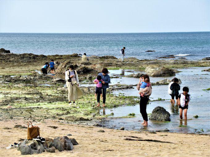 海の生き物を観察しよう!「網野累層」の上に広がる潮だまり
