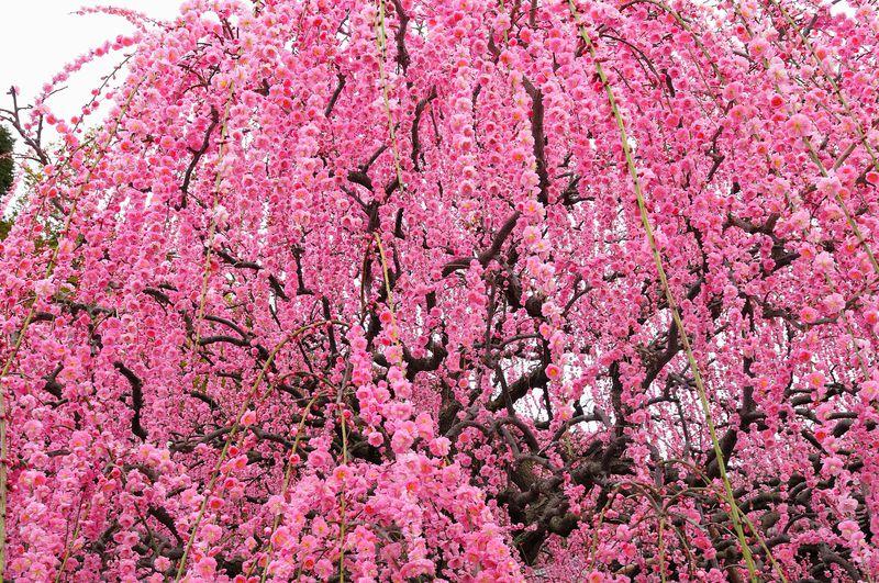 花の楽園、兵庫淡路島の「あわじ花へんろ」をめぐろう!