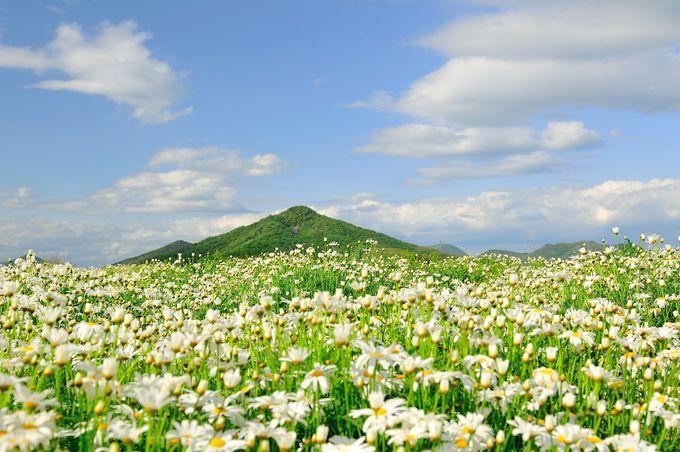 6.マーガレット日本一の産地!「フラワーパーク浦島」