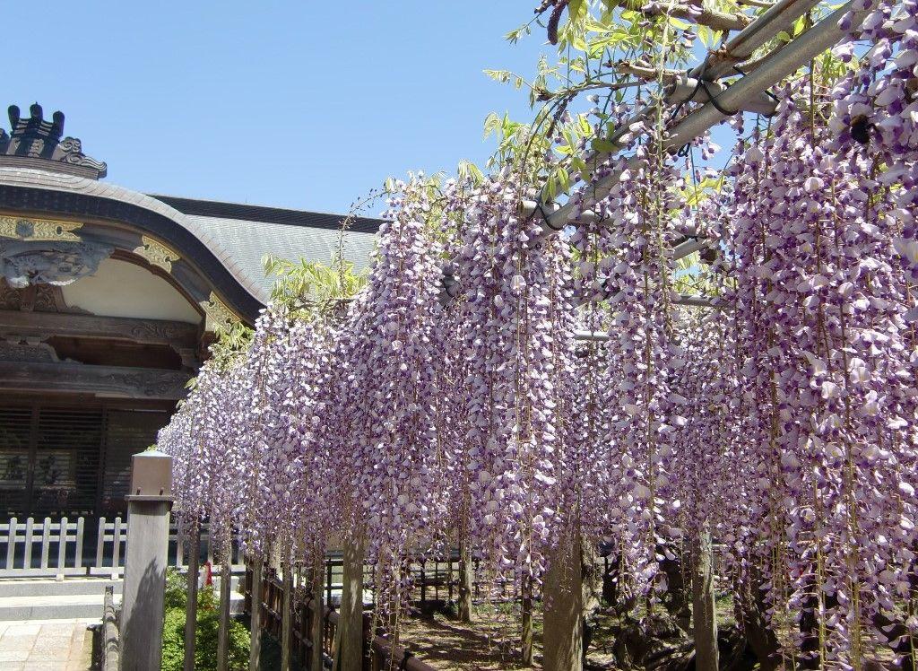「臥龍の藤」は紫の滝!千葉県銚子市妙福寺の満開の藤が圧巻!