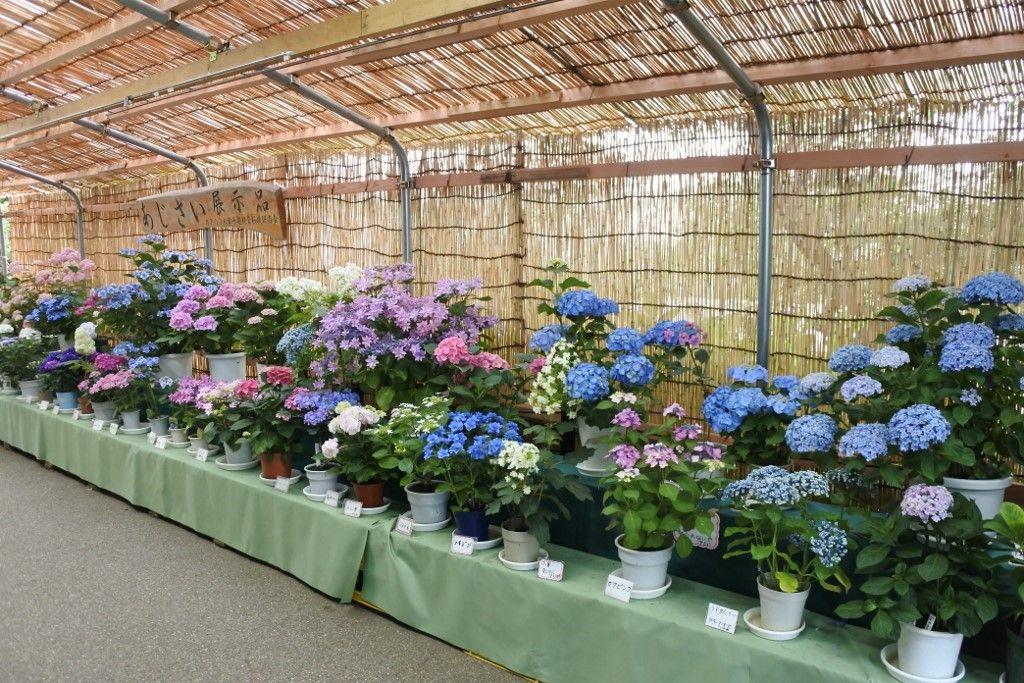 お休み処「峠の茶屋」前には紫陽花展示コーナーも