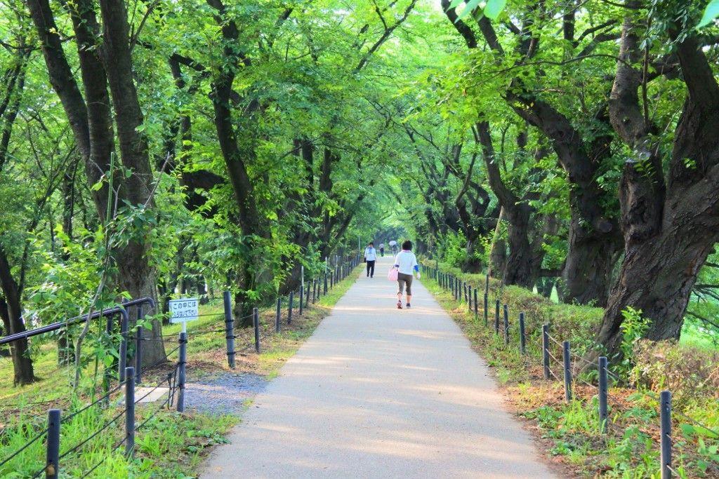 桜並木は眩しい緑のトンネルに変身