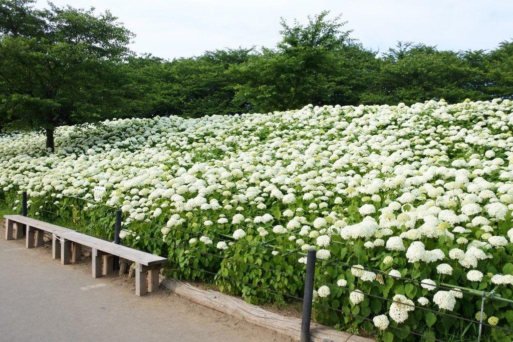 人気の「アナベル」はまるで白い絨毯