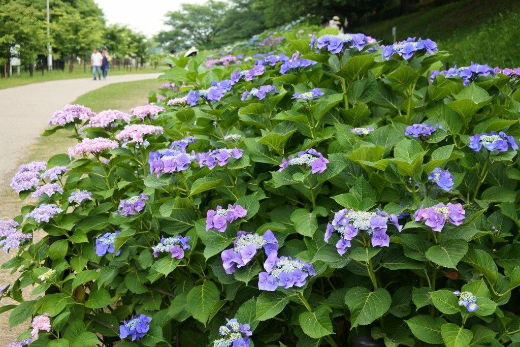 北東側斜面の紫陽花はさらに多彩に、鮮やかに