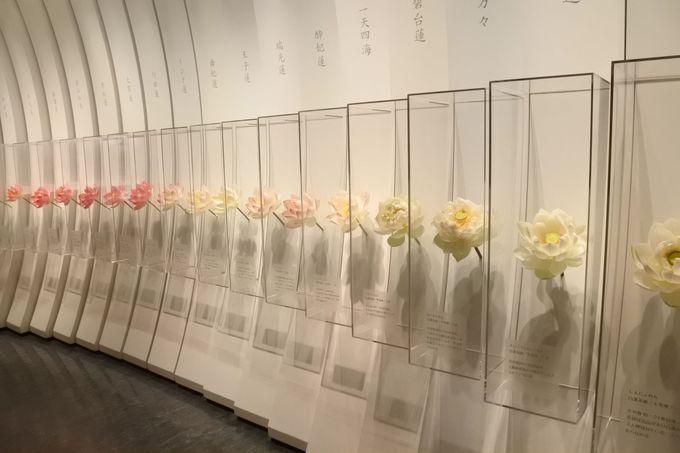 古代蓮会館で美しい蓮の世界を堪能しよう