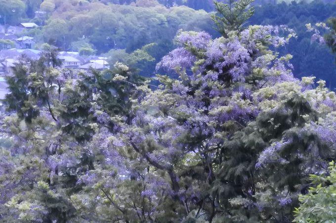 東京都内に自生する樹齢400年の藤の大木