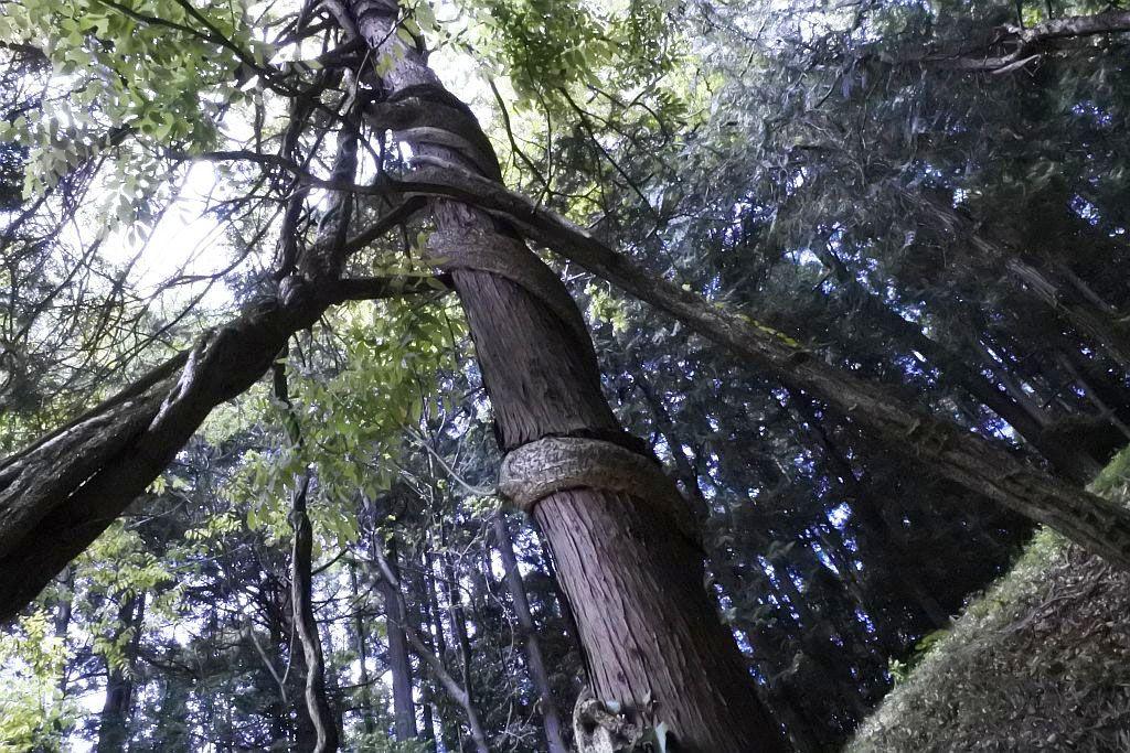 絡む木をねじ切るかのような藤の生命力