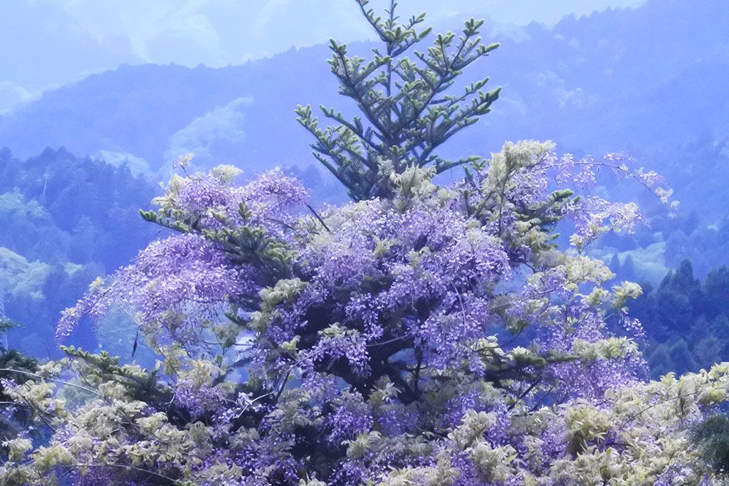 景色と一緒に楽しめる、紫の藤の美しさ