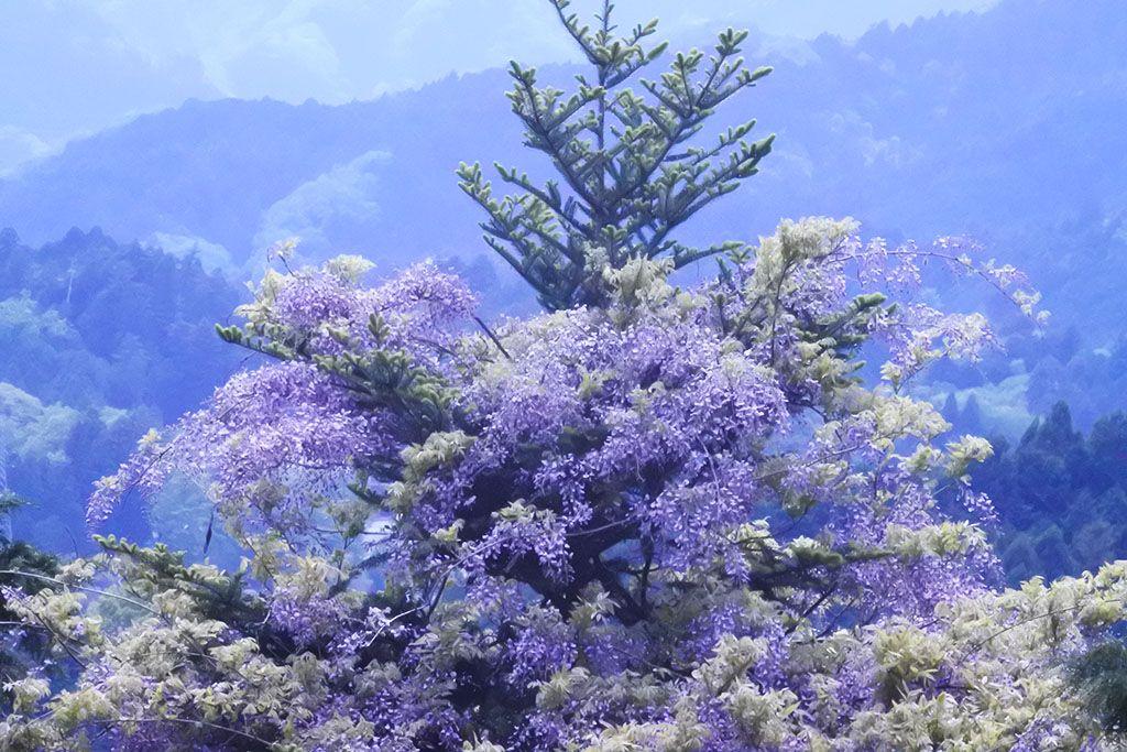 野生の藤の圧倒的生命力!東京・日の出町「大久野のフジ」