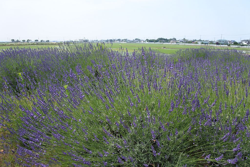 ラベンダー苑で癒しの香りに包まれる