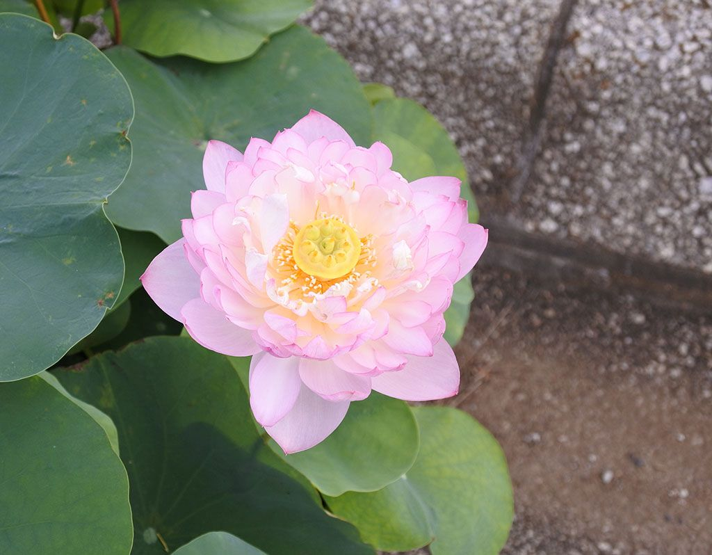 花ハス遊覧船以外も楽しい花ハスまつり!