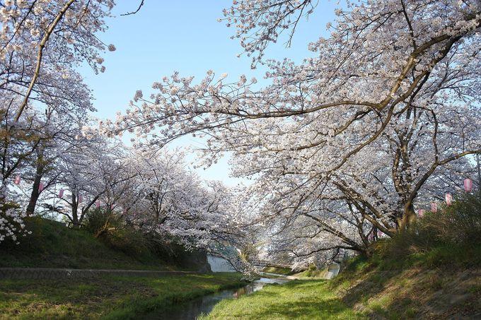 飲み込まれそうな桜の世界