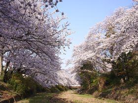 桜の絶景に静かに浸る 京都府井手町「玉川堤」の桜並木
