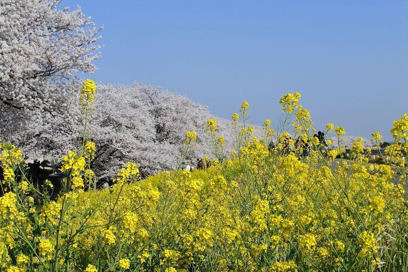 桜と菜の花の鮮やか春コラボ!埼玉「熊谷桜堤」は駅近お花見名所