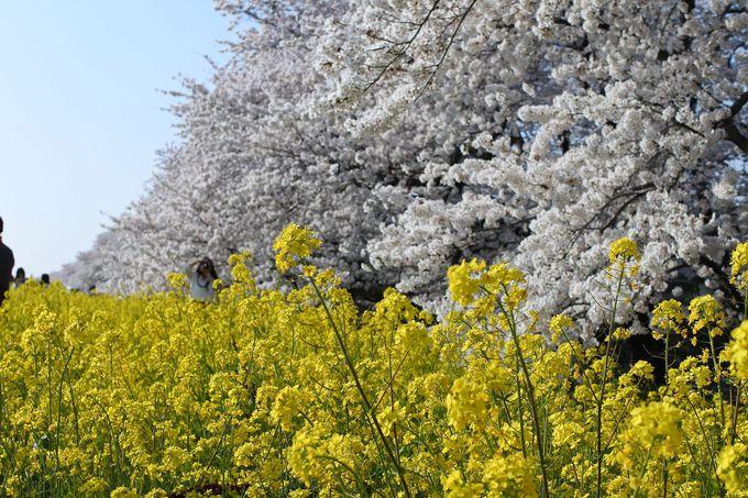 桜をバックに菜の花に埋もれる絶好のフォトスポット