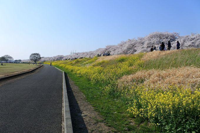 雲のような桜と菜の花じゅうたんの鮮やかなコラボ