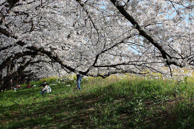 桜の下の小道で桜トンネルも楽しめる