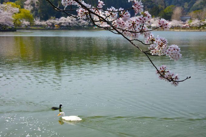 家康ゆかりの湖は桜の名所に