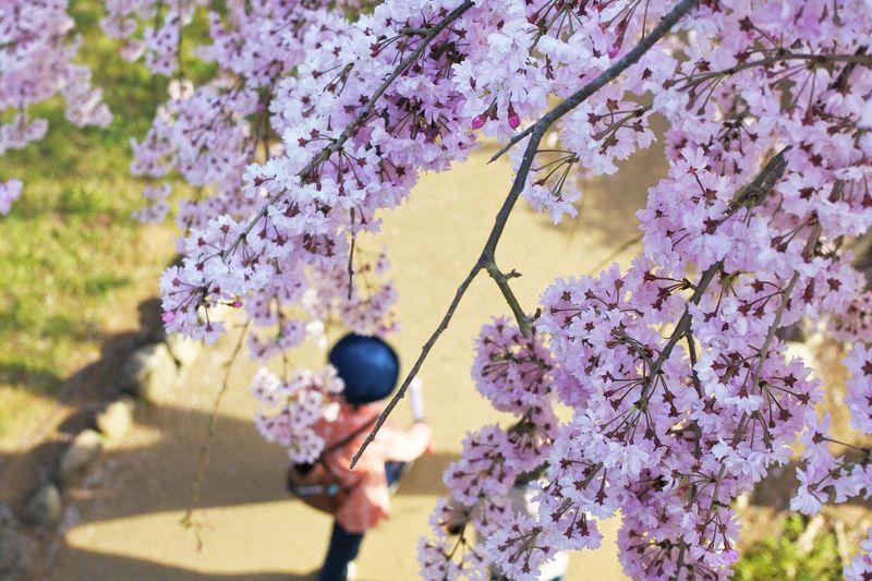 お花見シーズンが1か月!茨城「常陸風土記の丘」の桜は三度満開に!