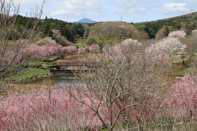 3種の桜が次々に咲く「常陸風土記の丘」