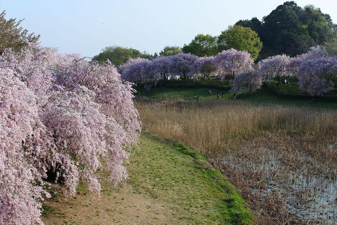 枝垂れ桜並木が一番のみどころ!