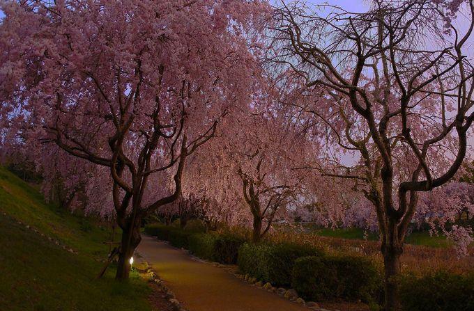 思わず見惚れる枝垂れ桜の華やかさ