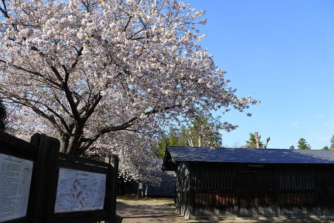 有料エリアは静かで桜も見ごたえあり!