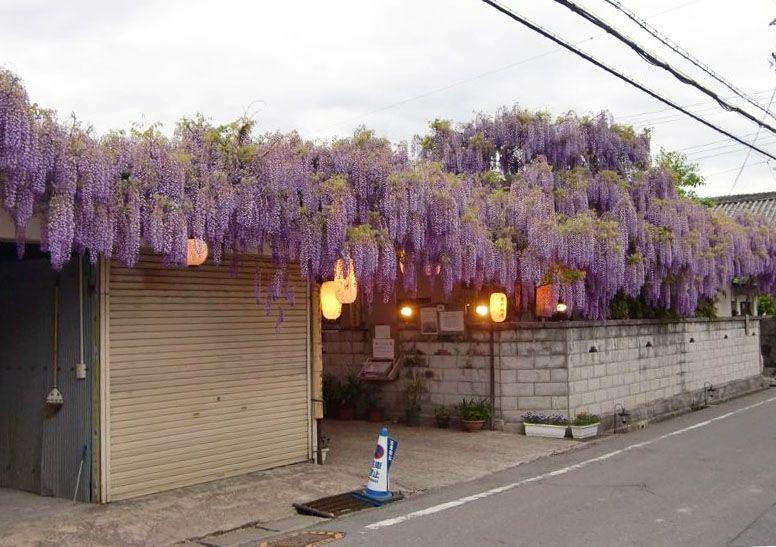 街なかに忽然と現れる紫のカーテン