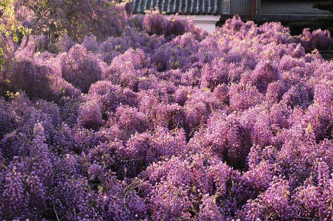 庭の藤が藤雲海を生み出すほどの名木に!