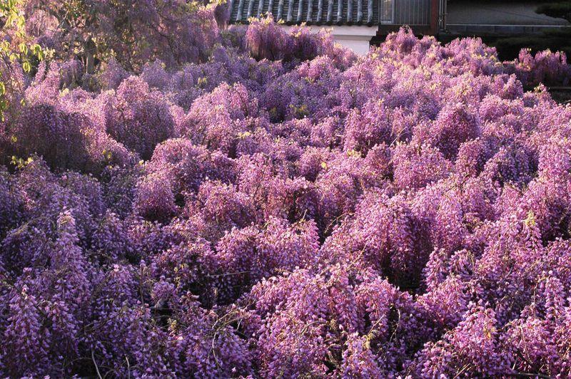 街なかに春だけの藤雲海 大阪「信達宿の野田藤」は民家を包む花冠