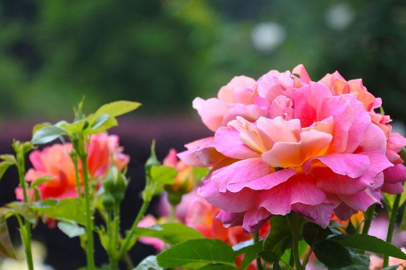里山の緑に包まれて 埼玉「滝ノ入ローズガーデン」の薔薇が華やかに