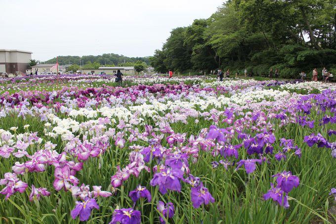 東北随一のあやめ園で約800種のあやめが咲き誇る