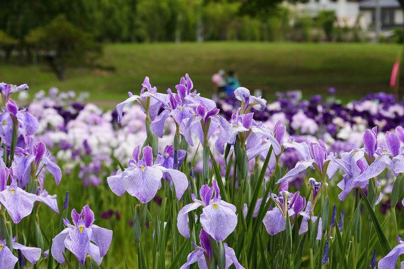 300万本の花と古代ロマンを堪能!宮城「多賀城跡あやめ園」